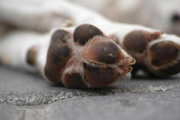 euthanasie du chien
