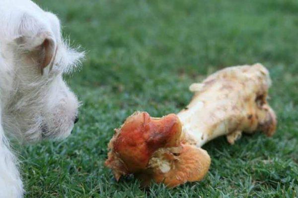 régime raw feeding du chien